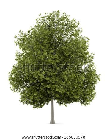 white ash tree isolated on white background - stock photo