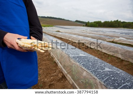 white asparagus held by a farmer on a field  - stock photo