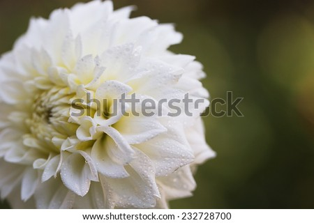 White aster on abstract green background - stock photo