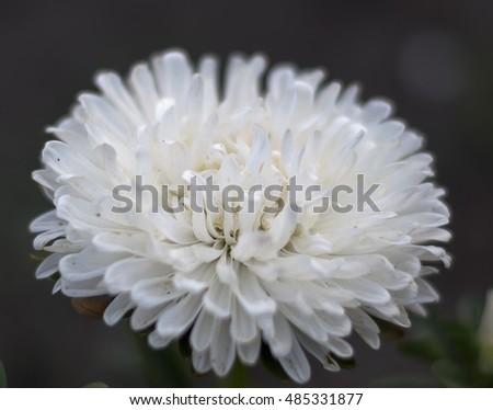 white asters Стоковые фотографии, изображения безлицензионных, Beautiful flower