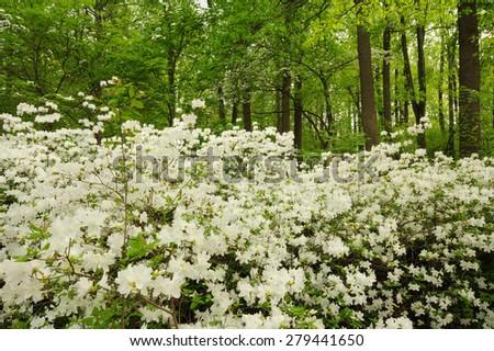 White azalea bushes in full bloom, the royalty of the garden - stock photo