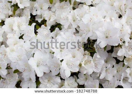 White azalea flower blooming all over the field - stock photo