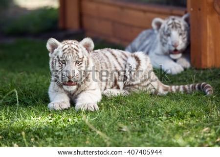 White baby Bengal Tigers. - stock photo