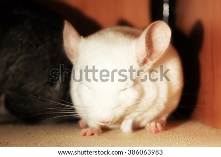 White baby chinchilla photographed close