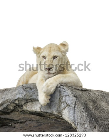 White baby lion with isolated white background and clip part. - stock photo