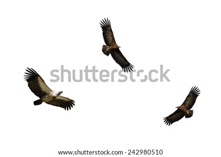 White-backed Vulture and Hooded Vulture in Flight - stock photo