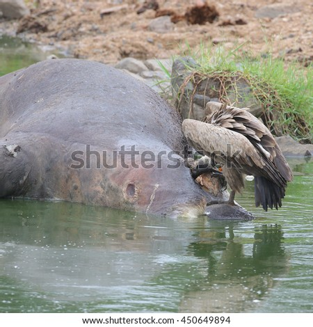 White-backed vulture eating dead hippo lying in water, Kruger National Park