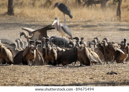 White-backed Vulture feeding in Kruger National park, South Africa - stock photo