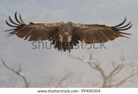 White Backed Vulture (Gyps africanus) in flight, South Africa - stock photo