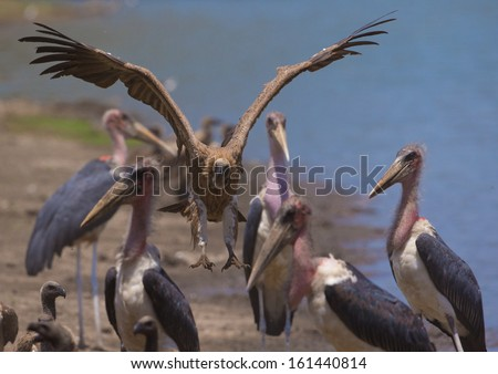 White-backed Vulture (Gyps africanus) landing amongst Marabou Storks (Leptoptilos crumeniferus) by the water's edge - stock photo