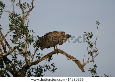 White-Backed Vulture in tree - stock photo