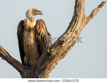 White backed vulture perched in tree over a carcass in Kruger National Park, South Africa