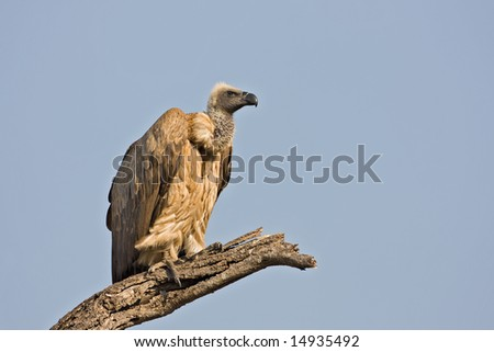 White-Backed vulture perched on branch; Gyps africanus; South Africa