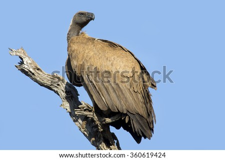 White backed vulture sitting in a dead tree with blue sky