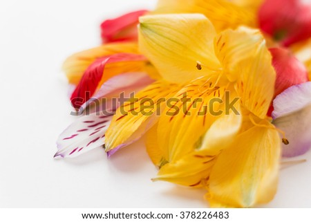 White background with colorful flower petals. Natural floral background. Place for text.