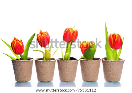 White background with tulips in the papers pots