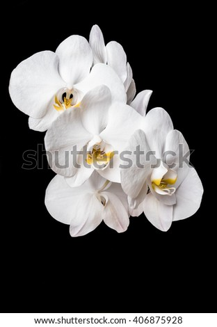 White bamboo leaf orchid isolated on black background. Orchid flower.