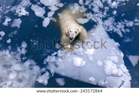 White bear in the sea, swims among the ice, polar bear in the ice, White bear on an ice floe, swimming in the ice - stock photo