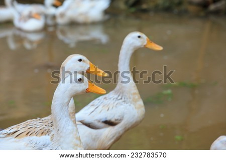 White beautiful duck floating on the water near another ducks  - stock photo