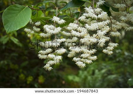 White beautiful linden like flowers