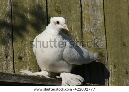 White beautiful pigeon on a roof