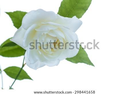white beautiful rose on a white background - stock photo