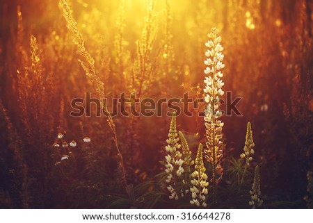 white beautiful wild lupine flowers in dry grass in sunny vintage field background. Autumn nature in evening sunshine  - stock photo