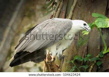 White-Belled Sea Eagle (Haliaeetus leucogaster)