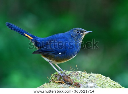 white-bellied redstart (Hodgsonius phaenicuroides) the beautiful blue bird standing on the green mossy rock showing side profile feathers and details and worm bait - stock photo