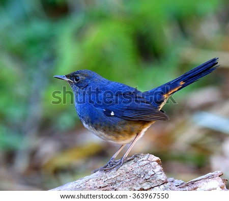 white-bellied redstart (Hodgsonius phaenicuroides) the beautiful blue bird standing on the log showing side profile feathers and details - stock photo