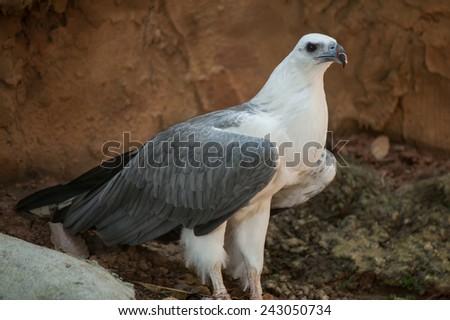 White-bellied sea-eagle (Haliaeetus leucogaster) - stock photo