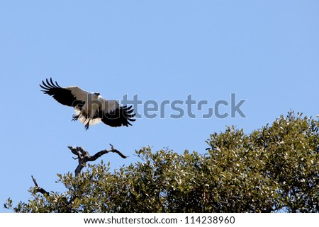 White bellied Sea eagle Haliaeetus leucogaster taking off from perch - stock photo