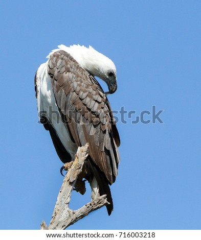 White-bellied sea eagle on branch, Corroborree Billabong, Northern Territory, Australia