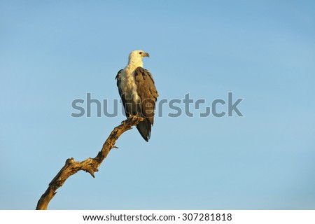 White Bellied Sea Eagle perched on a dead tree branch. - stock photo