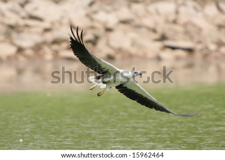 White Bellied Sea Eagle soaring