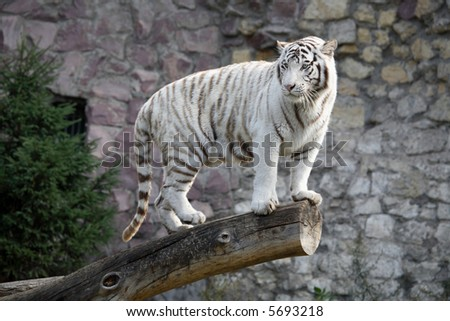 White Bengal Tiger in a close up view portrait - stock photo