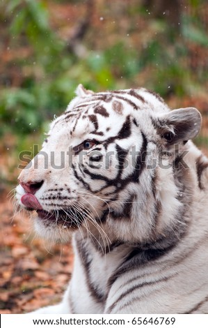White Bengal Tiger in a Zoo
