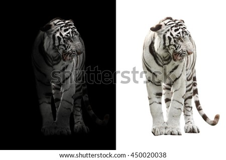 white bengal tiger in the dark and white bengal tiger on white background - stock photo