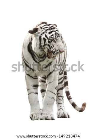 white bengal tiger isolated on white background - stock photo