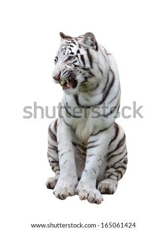 white bengal tiger isolated on white background - stock photo
