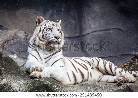 White bengal tiger, lying, relax, and watching on cliff - stock photo