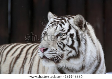White bengal tiger on dark background. The most dangerous beast shows his calm greatness. Wild beauty of a severe big cat.