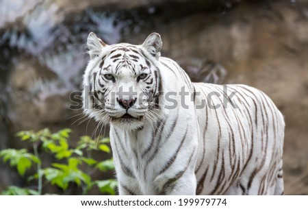 White Bengal tiger standing and looking straight. Bengal tiger (Panthera tigris tigris)  - stock photo