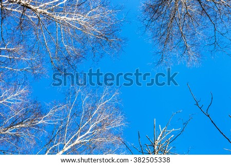 white birch tops and blue sky in sunny winter day