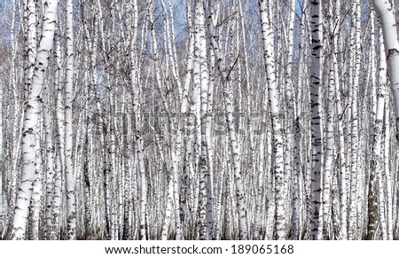 White birch tree in early spring - stock photo