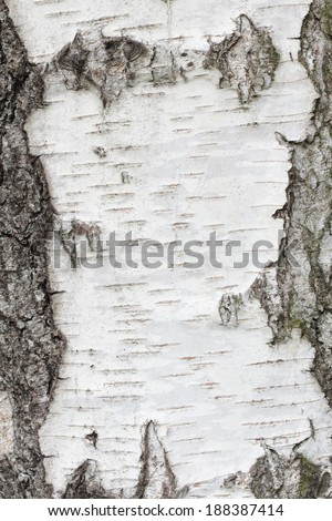 White birch tree texture abstract background