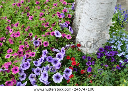White birch tree trunk sourrounded by petunias in residential garden. New varieties like Supertunia Pretty Much Picasso, pink petals with green edge and MiniFamous Calibrachoa Double Red - stock photo