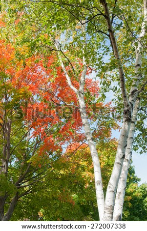 White birch tree trunks with vibrant autumn leaves.of colors green,red and yellow. - stock photo