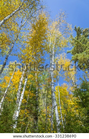 White Birch Trees (Betula papyrifera) in Autumn Against a Blue Sky - Silent Lake Provincial Park, Ontario, Canada - stock photo