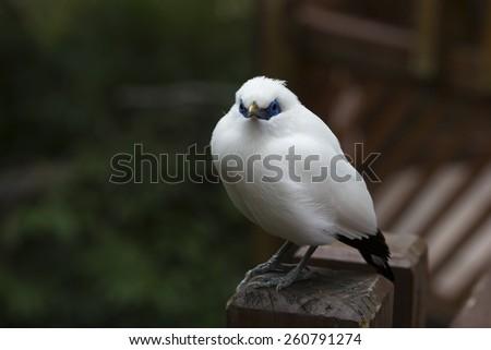 White Bird - Bail Mynah - stock photo